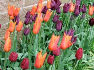 Tulips will out in April