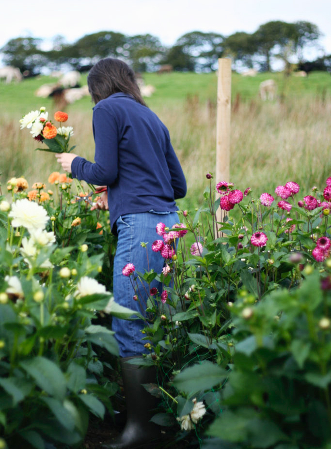 Cutting Dahlias in the flower field
