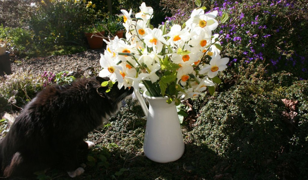 cat smelling narcissi