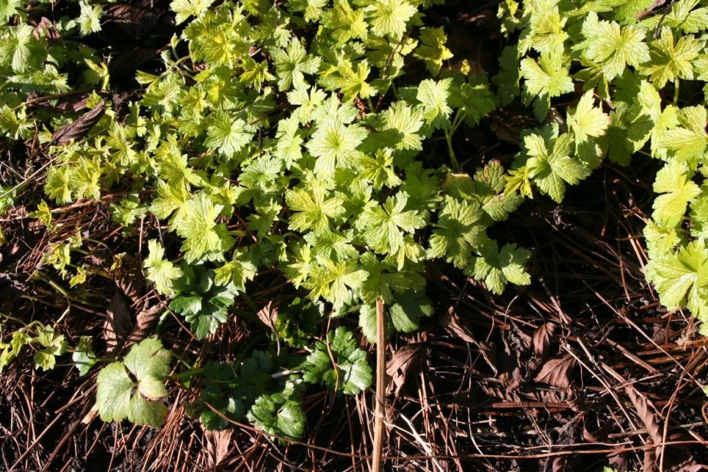 geranium and buttercups