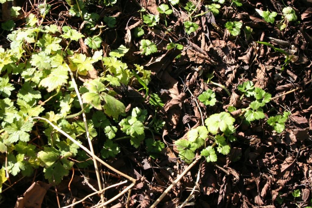 geranium and buttercups2