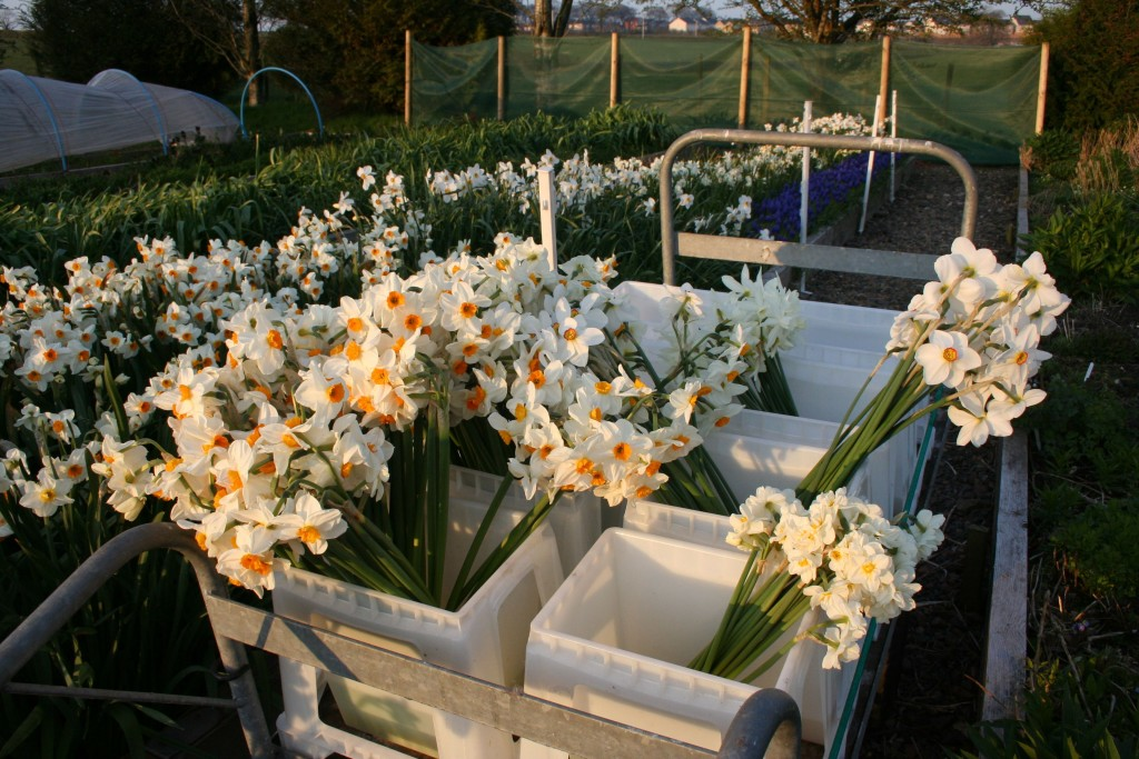 scottish narcissi harvest